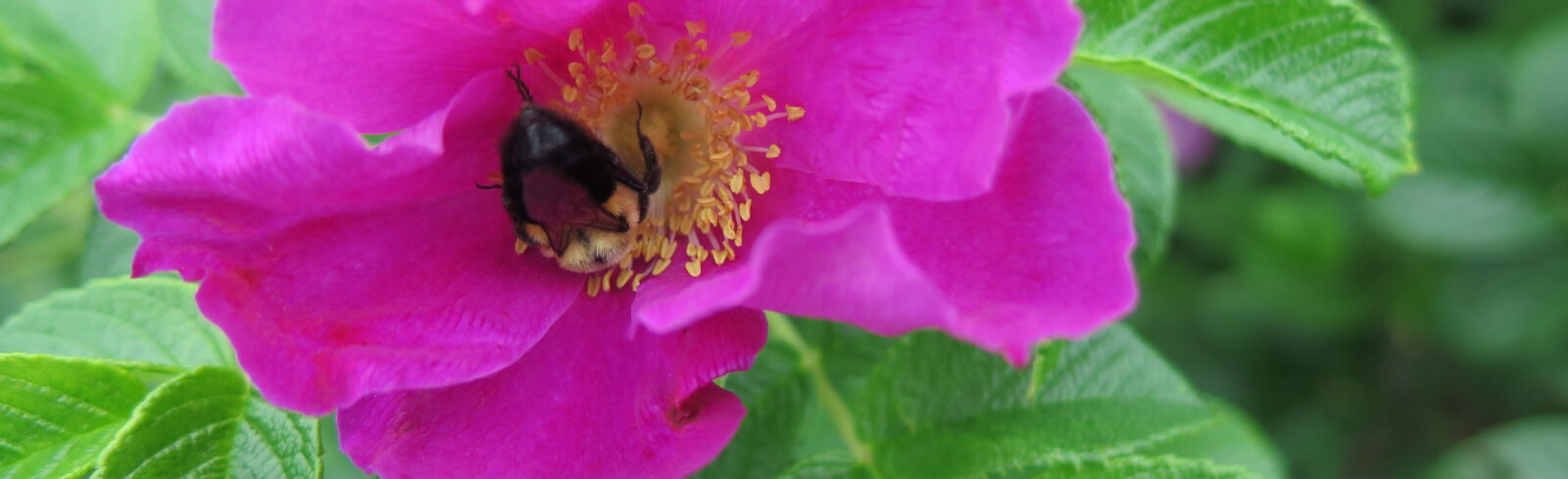 Rosa rugosa et bourdons