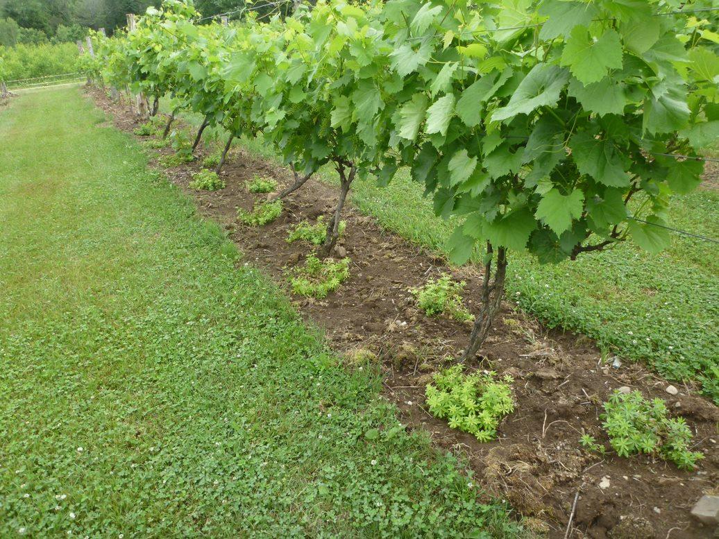 Aspérule odorante sur le rang de vigne