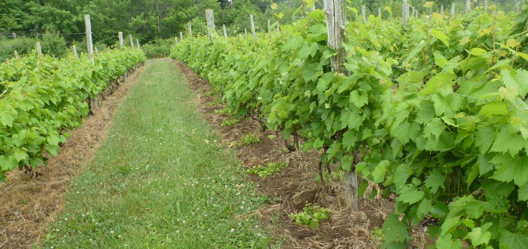 Couvre-sol permanent sur le rang de vigne